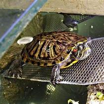 красноухая черепаха содержание