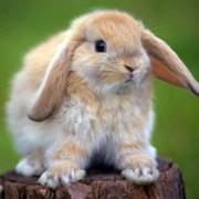 Советы, как определить пол декоративного кролика. Отличие самца от самки