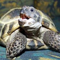 определение пола черепахи