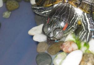 опухшие глаза у черепахи