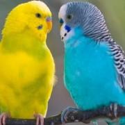 Рекомендации специалистов, как можно отличить самку от самца волнистого попугая разными методами