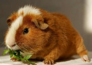 питание свинки