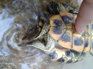 пол красноухой черепахи