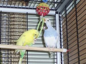 Интересные, забавные игрушки для попугаев волнистых. Делаем игрушки своими руками