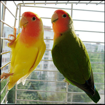 попугаи самка и самец