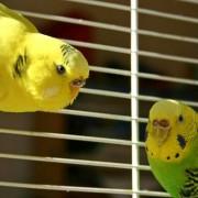 Узнаем, сколько лет обычно живут волнистые попугаи в домашних условиях. Какие опасности ему грозят?