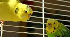 попугаи в доме