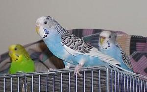 попугайчики говорящие