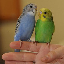 приручение попугая