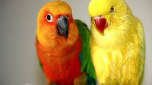 птицы неразлучники