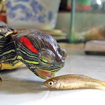 рацион красноухих черепах