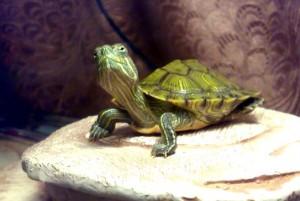 содержание черепахи