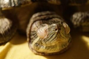 у черепахи опухли глаза