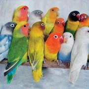 Попугаи неразлучники, правила ухода и содержания в домашних условиях. Советы по разведению, кормлению