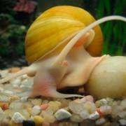 Улитка ампулярия, правила ухода и содержания в аквариуме. Советы и рекомендации