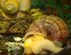 улитка в аквариуме