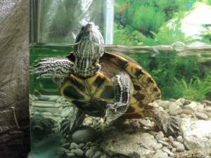 вода и черепаха