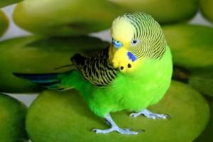 Советы, как быстро научить волнистого попугая разговаривать. Эффективные методики обучения