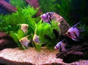 аквариумная скалярия