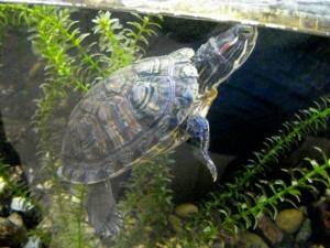 болезнь красноухой черепахи