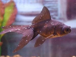 болезнь манка у рыбок