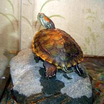 черепаха пресноводная