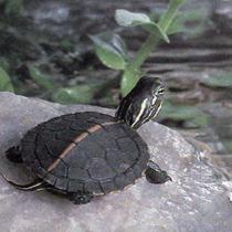 домашняя водяная черепаха