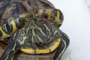 красноухая черепаха сколько живет