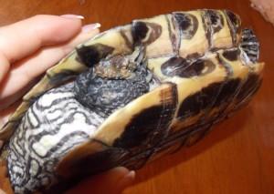 красноухая черепаха вялая
