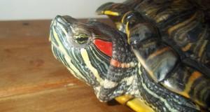 красноухая домашняя черепаха