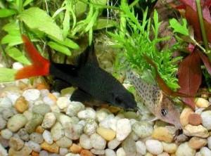 лабео в аквариуме