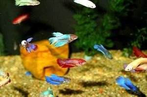 петушки в аквариуме