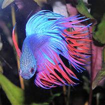 петушок рыбка