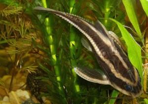 платидорас рыбка