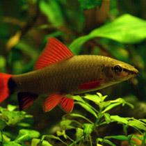 рыбка лабео