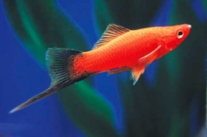 рыбка меченосец