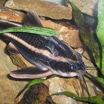 рыбка сом платидорас