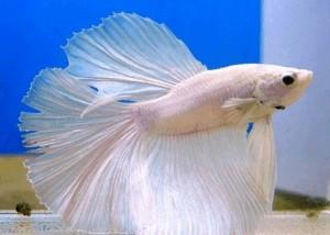 рыбки петушок