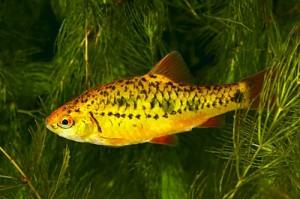 рыбки шуберта