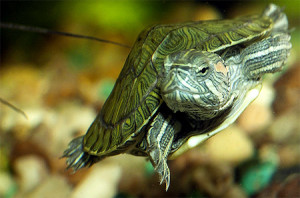 Болотная черепаха уход в домашних условиях