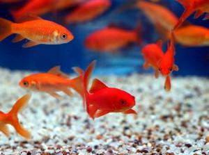 золотые рыбки уход