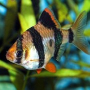 Обсудим некоторые важные моменты по совместимости Барбуса с другими рыбами данного вида.