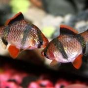 Что нужно знать новичкам и экспертам по организации ухода и содержания за Барбусом в аквариуме?