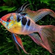 Что из себя представляет такая рыбешка как апистограмма рамиреса – что нужно знать перед покупкой?