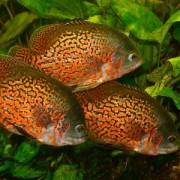 Узнаем чем примечательны рыбки астронотусы – как правильно содержать их и осуществлять уход?