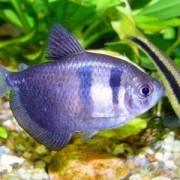 Узнаем все плюсы и минусы ухода с содержанием за рыбками тернеции – что следует помнить при покупке?