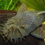 Обсудим правила ухода за необычной рыбкой – сомиком прилипалой. Чем примечателен питомец?