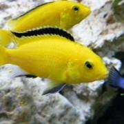 Что собой представляет аквариумная рыбка цихлида еллоу и что выделяет ее среди сородичей?