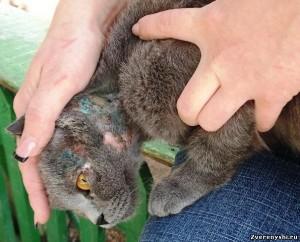 Как лечить экзему у кошек