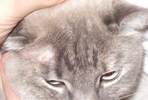 лечение лишая у кошек